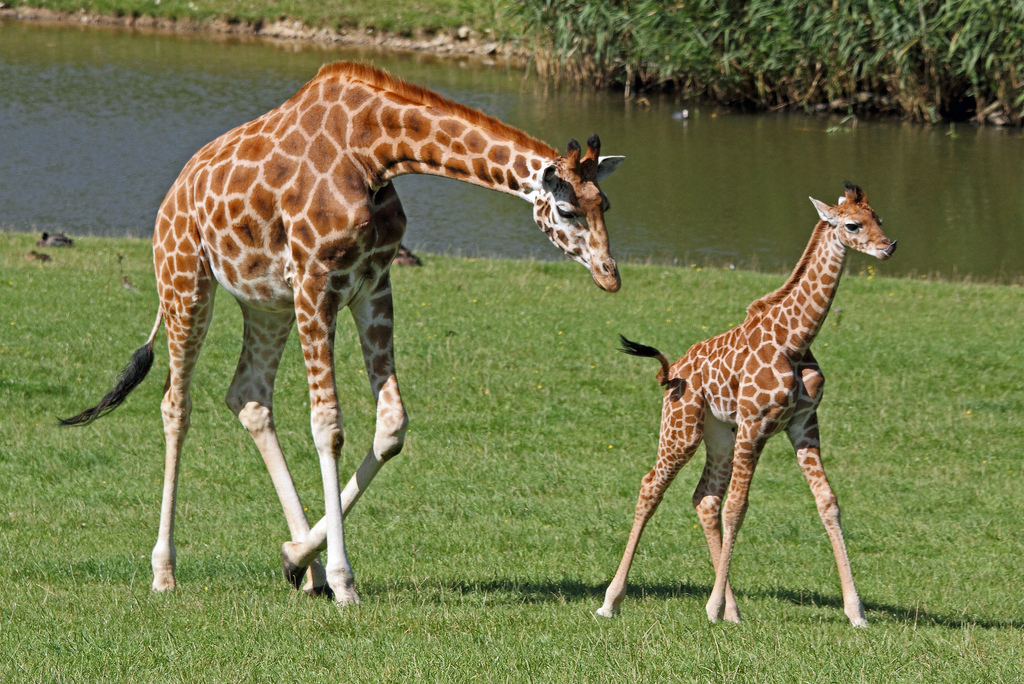 Marwell wildlife giraffe chase credit mark fryer