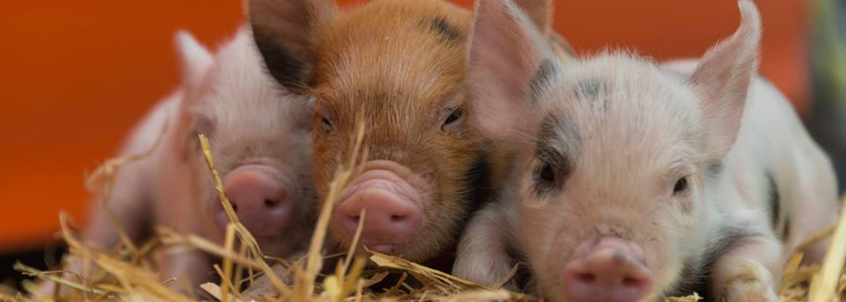 Widgety Cricket Circuit Round Boar Longdown Activity Farm