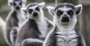 Lemurs x 3 Jason Brown.jpg